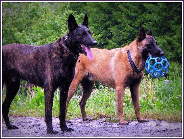 Belgian Malinois vs. Dutch Shepherds